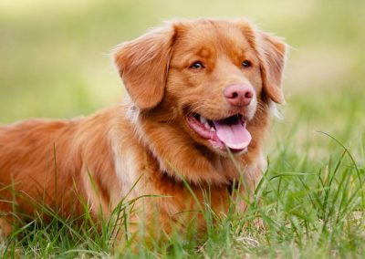 Tolling-Retriever-2