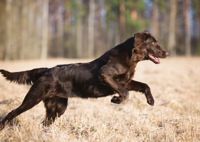 flat-coated-retriever-800