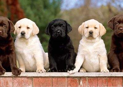 labrador-retriever-puppies_4