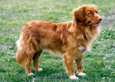 nova-scotia-duck-tolling-retriever-5-645mk070411