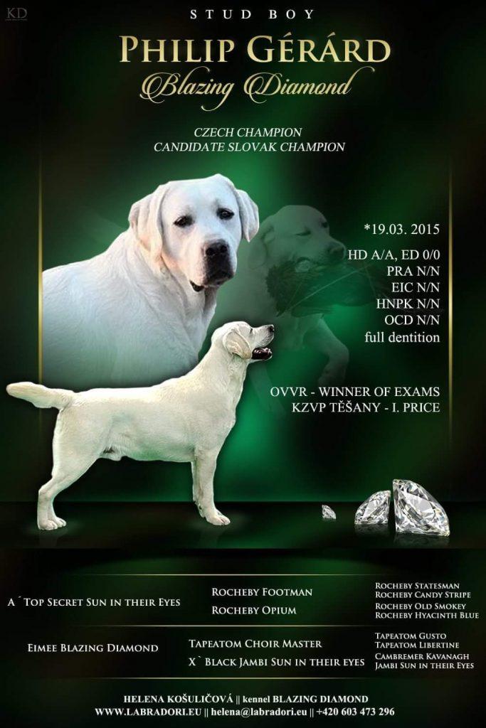 Labrador Retriever –  Philipe Gérard Blazing Diamond