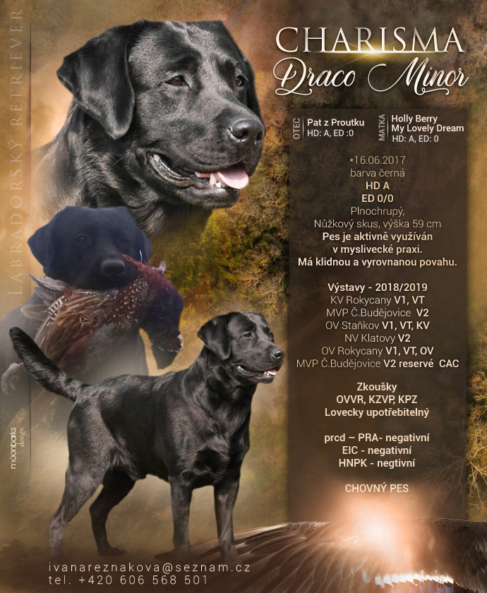 Charisma Draco Minor – Labrador retriever