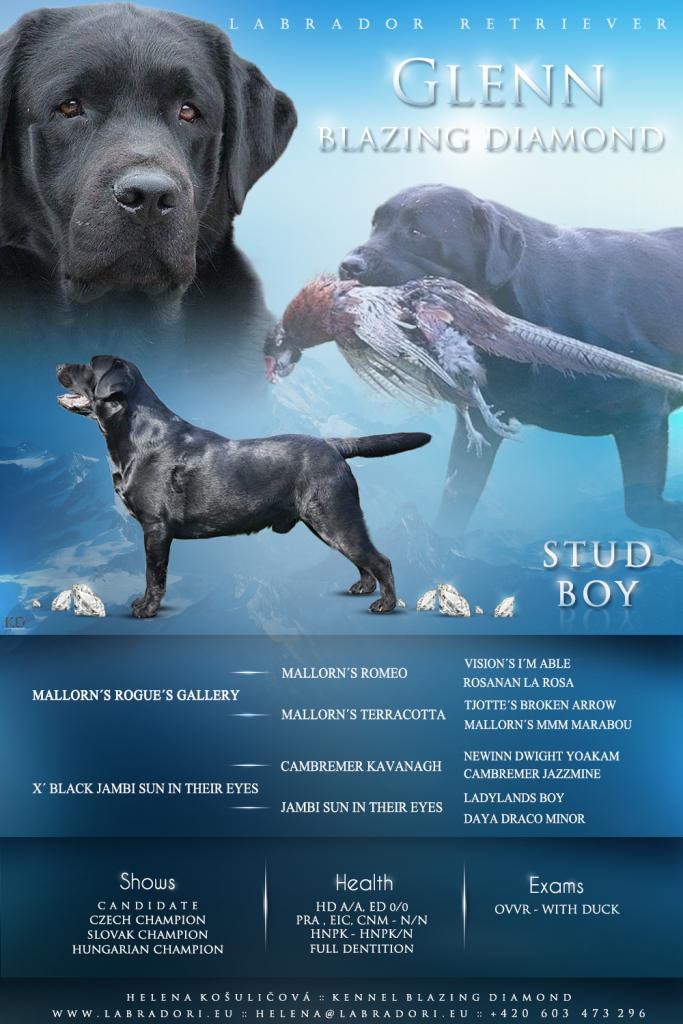 Glenn Blazing Diamond – Labrador Retriever